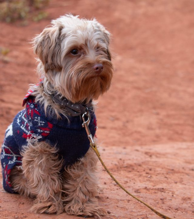 dog wearing a sweater with a leash sitting on desert ground